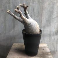 パキポディウム グラキリス  532 塊根植物 コーデックス マダガスカル現地球