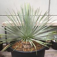 Yucca rostrata ユッカ ロストラータ