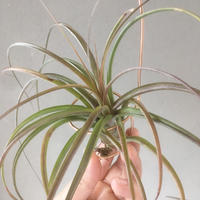 Tillandsia Celebration (Bulbosa × Brachycaulos)