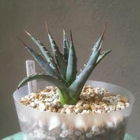 Agave uthaensis var. nevadensis ユタエンシス  ネバデンシス