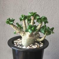 Adenium arbicum monstrosa アデニウム アラビカム モンストローサ カール葉