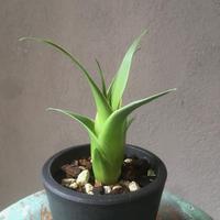 Catopsis subulata カトプシス スブラータ