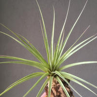 Tillandsia Der Allerbeste (Jaliscomonticola × Chiapensis)