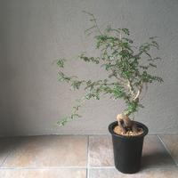 Operculicarya decaryi オペルクリカリア デカリー