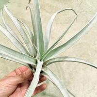 Tillandsia chiapensis チランジア チアペンシス Lサイズ