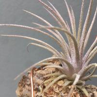 Tillandsia  ionantha 'Predator'
