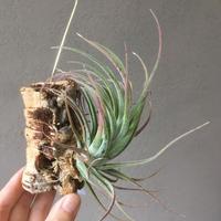 Tillandsia Pruinosa × Velutina