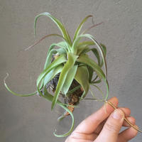 Tillandsia Naturally Gorgeous  (Streptophylla× abdita)