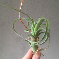 Tillandsia Twisted Tim  (Intermedia x Capitata)