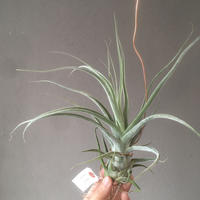 Tillandsia Streptophylla x Ehlersiana
