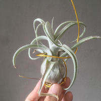 Tillandsia Blushing Giant (Streptophylla x Seleriana)
