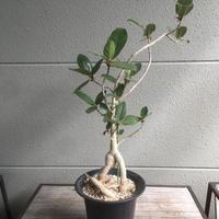 Ficus glumosa フィカス・グルモーサ