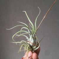 Tillandsia Spellbinder (Caput-medusae × Fasciculata)