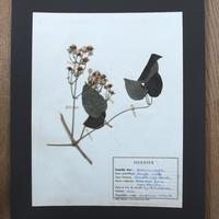 植物標本 2