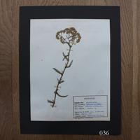 植物標本 5