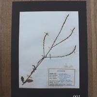 植物標本 1