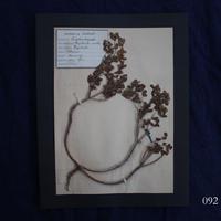 植物標本 11