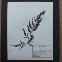 植物標本 4