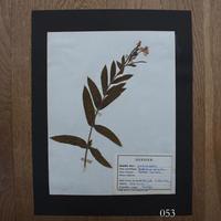 植物標本 7