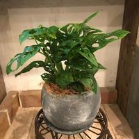 マドカズラの鉢植え