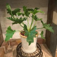 クッカバラの鉢植え
