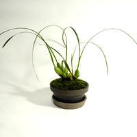 Max.tenuifolia