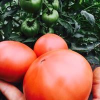 甘太郎ジュニアトマト(減農薬) 1㎏(5-8玉)