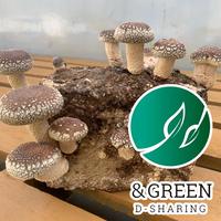 【CO₂オフセット済み商品 エコしいたけ栽培】おウチでシイタケ育てよう!菌床1個