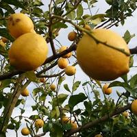 【キズ[✓]モン。】キズの多い国産レモン:4kg