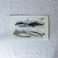 イルカ・クジラの博物画