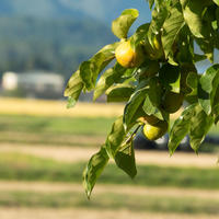 柿の葉 14日用