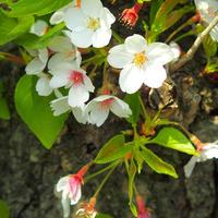 桜の葉 14日用