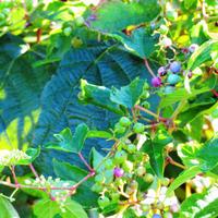ダッシュ島でも取り上げられたノブドウ茶!30日用【体質にあったお茶も無料でご進呈】