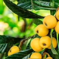 ビワの葉 30日用【体質にあったお茶も無料でご進呈】