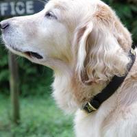 【THE SUPERIOR LABOR】TSL dog collar XL  (セミオーダー商品)