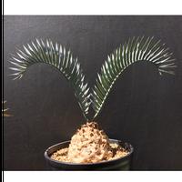 Encephalartos lehmannii エンセファラルトス  レーマニー
