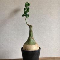 Adenia glauca アデニア グラウカ