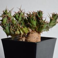 Euphorbia tortirama ユーフォルビア トルチラマ