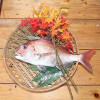 徳島県近海瀬戸内産『活〆真鯛』1尾《全国送料無料》
