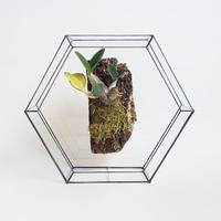 「ガラスと着生植物」Den.speciosum variegata