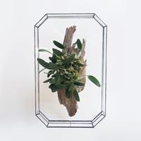 「ガラスと着生植物」  Dendrobium Uaeng Thueng