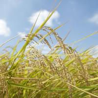 無農薬米10kg <5㎏×2袋>