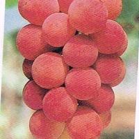 ぶどう 種なし ゴルビー 3kg