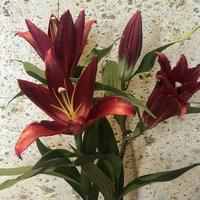新品種【ペトロリア】 5本束上向きのボルドー 花弁がしっかりしていて上向きのユリさん