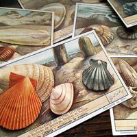 1950年 LIEBIG◆貝殻6種アンティーク・ビンテージカード