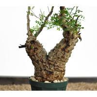 Operculicarya  pachypus 〈幹幅9.2cm〉