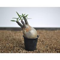 Pachypodium rosulatum var. gracilius 〈幹幅7.5cm〉
