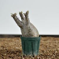 Pachypodium rosulatum var. gracilius  no.020401310〈幹幅5.6cm〉