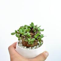 Ceraria pygmaea