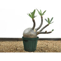 Pachypodium rosulatum var. gracilius〈幹幅12.6cm〉